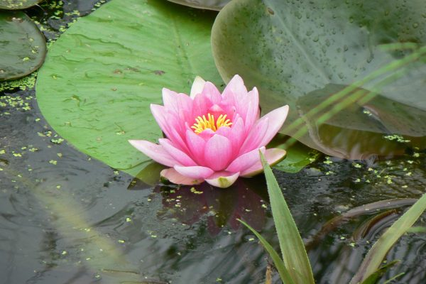 pink_flower